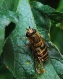 Een mooie vlieg kijkt als een wesp Stock Afbeelding