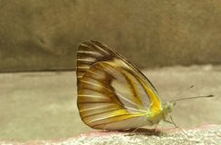 Een mooie vlinder Stock Afbeeldingen