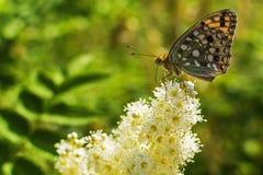 Een mooie vlinder in de zomer Royalty-vrije Stock Fotografie