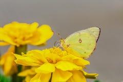 Een mooie vlinder op een bloem Royalty-vrije Stock Afbeelding