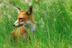 Een mooie vos (Vulpes vulpes) royalty-vrije stock fotografie