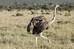 Een mooie vrouwelijke Struisvogel, Ol-pejetamilieubescherming, Kenia Royalty-vrije Stock Fotografie