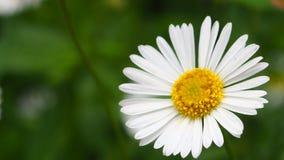 Een mooie wilde witte bloem stock foto's