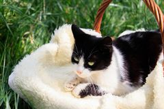 Een mooie wit-zwarte kat die in een mand liggen stock afbeelding