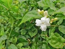 Een mooie witte bloem in de groene tuin royalty-vrije stock fotografie