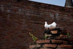 Een mooie witte duif op de geruïneerde pijler, Stock Foto