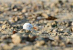 Een mooie Witte geleide zeemeeuw die van de zandhoop piepen Royalty-vrije Stock Foto's
