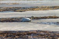 Een mooie witte Zwaan zwemt in het meer, dat gedeeltelijk met ijs op een Zonnige de lentedag wordt behandeld stock fotografie
