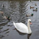 Een mooie witte zwaan zwemt op een meer in het bedrijf van eenden en mannetjeseenden royalty-vrije stock foto's