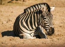 Een mooie zebra in de dierentuin Stock Afbeeldingen