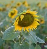 Een mooie zonnebloem Royalty-vrije Stock Foto's