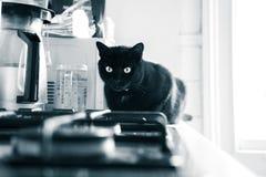 Een mooie zwarte kat die binnen leven Volwassen katachtig portret stock foto's