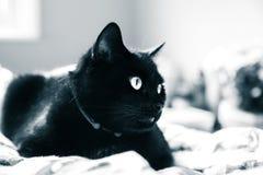 Een mooie zwarte kat die binnen leven Volwassen katachtig portret stock fotografie