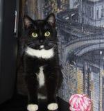 Een mooie zwarte kat met witte vlekken huisdieren Royalty-vrije Stock Foto