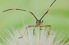 Het insect van de moordenaar Royalty-vrije Stock Afbeeldingen