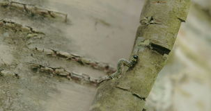 Een mot die omhoog zijn lichaam op de stam FS700 4K krullen te beklimmen stock footage