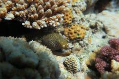 Een Muraenesox-cinereus Royalty-vrije Stock Fotografie