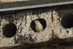 Een mus gluurt uit een gat in een concrete plak Royalty-vrije Stock Afbeelding