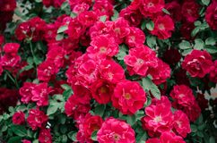 Een muur van rode rozenachtergrond Royalty-vrije Stock Foto