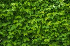 Een muur van verse groene bladeren stock afbeeldingen