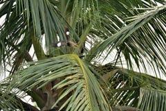 Een Myna tijdens de vlucht boven een Kokosnotentak Royalty-vrije Stock Afbeeldingen