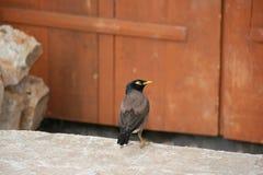 Een mynavogel rust in de binnenplaats van een tempel (Bhutan) Stock Foto