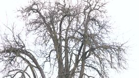 Een naakte boom in de winter stock video
