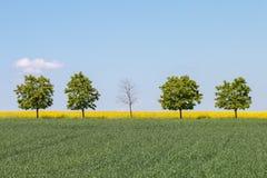 Een naakte boom in het centrum van een rij van 5 bomen op een groen gebied stock foto's