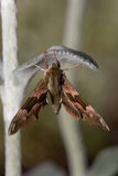 Een nachtmot die op een blad (Sphingidae) hangt Stock Foto