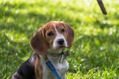 Een nadenkend Brakpuppy met een blauwe leiband op een gang in een stadspark Portret van een aardig puppy royalty-vrije stock afbeelding
