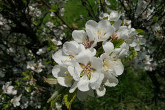 Een nanking kers en bloemen Royalty-vrije Stock Foto