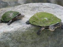 Een natuurlijk geologisch beeldhouwwerk, de waarvan vorm van een schildpad met uitgerekte hals herinnerend is Royalty-vrije Stock Foto