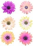 Een natuurlijke asterbloemen Royalty-vrije Stock Foto's