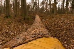 Een nette boomstam in het hout Stock Afbeelding