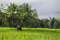 Een niet geïdentificeerde mens werkt in rijstaanplanting Tegalalangrijst Te Stock Afbeeldingen