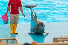 Een niet geïdentificeerde mensentrainer toont dolfijnen aangezien zij presteren Stock Fotografie