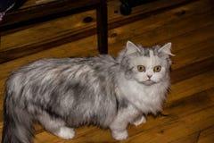 Een niet zo gezonde kat Stock Afbeelding