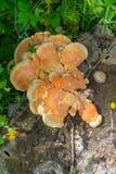 Een nieuwe paddestoel - Fomes-fomentarius (licht ontvlambare stofpaddestoel) Royalty-vrije Stock Afbeeldingen