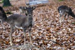 Een Nieuwsgierig Hert stock foto