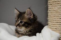 Een nieuwsgierig katje met een vermoeid maar leuk gezicht Stock Foto