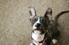 Een nieuwsgierig Puppy Stock Fotografie