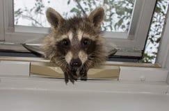 Een nieuwsgierige babywasbeer die in een dakraamvenster gluren royalty-vrije stock afbeeldingen