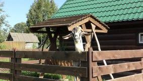Een nieuwsgierige geit met grote hoornen stock footage