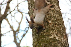 Een nieuwsgierige grijsachtige bruine eekhoorn Royalty-vrije Stock Foto's