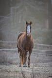 Een nieuwsgierige hengst in van hem drijft op een ijzige November-ochtend bijeen Royalty-vrije Stock Foto