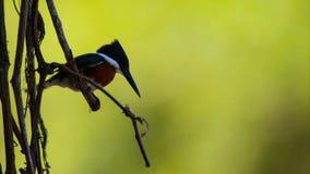 Een nieuwsgierige kastanje-Gesteunde Chickadee streek op een tak neer stock foto