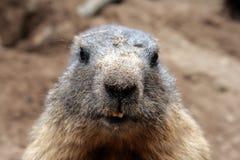 Een nieuwsgierige marmot Royalty-vrije Stock Afbeeldingen