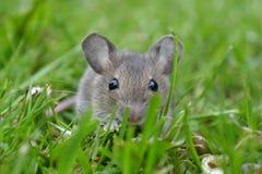 Een nieuwsgierige muis Royalty-vrije Stock Foto's