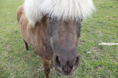 Een nieuwsgierige Poney van Shetland Stock Foto's