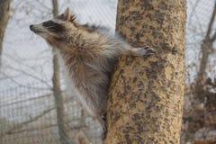 Een nieuwsgierige wasbeer beklimt een boomboomstam stock afbeeldingen